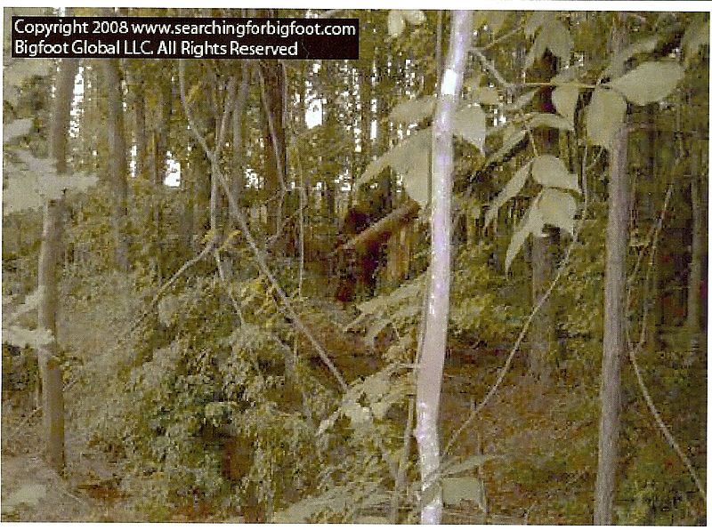 Bigfoot in trees_c